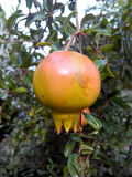 pomegranates Arkivbild