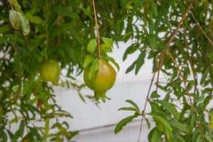pomegranates Стоковое фото RF