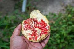 pomegranates Arkivfoton