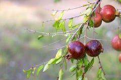 pomegranates Стоковые Изображения RF