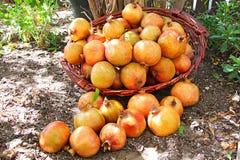 pomegranates Royaltyfri Bild