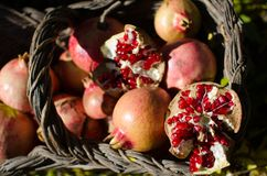 Pomegranates in the basket, important food supplement rich in vitamins and antioxidants. Pomegranates in the basket, seasonal fruit, important food supplement royalty free stock image