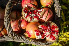 Pomegranates in the basket, seasonal food, excellent ingredient for cheerful and colorful menus and cocktails. Pomegranates, seasonal fruit, important food royalty free stock images