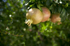 Pomegranates on branch Stock Photo