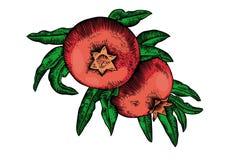 Pomegranates on the branch Stock Photo