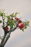 Pomegranates on branches. royalty free stock photos