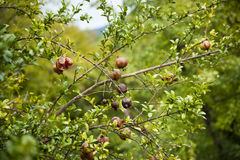 Pomegranates. Branches of a fruit tree with pomegranates stock image