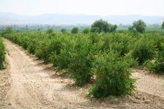 Pomegranates bushes. Stock Image