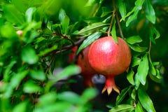 pomegranates för filialkanariefågelfuerteventura ö Arkivfoton