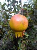 Pomegranates. Fruit food diet group half nature rad sweet life macro vitamin Stock Photography