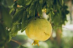 Pomegranates hanging on the tree. Unripe wild green pomegranate. Pomegranate fruit on the tree branch. Punica granatum. Closeup of unripe pomegranates on the Royalty Free Stock Image