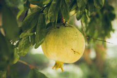 Pomegranates hanging on the tree. Unripe wild green pomegranate. Pomegranate fruit on the tree branch. Punica granatum. Closeup of unripe pomegranates on the Stock Photos