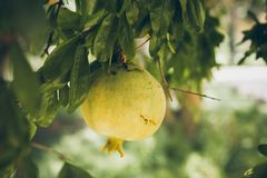 Pomegranates hanging on the tree. Unripe wild green pomegranate. Pomegranate fruit on the tree branch. Punica granatum. Closeup of unripe pomegranates on the Royalty Free Stock Images