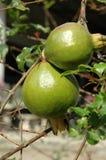 Pomegranates Hanging on Twig Stock Photos