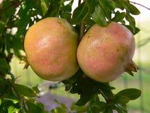 Pomegranates på tree Royaltyfri Foto