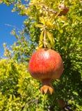 Pomegranates på treen Arkivfoton