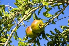 Pomegranates Royalty Free Stock Photography