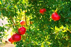 pomegranates ready to harvest in the Corfu countryside royalty free stock photos