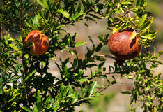 Pomegranates on the Tree. In the garden in October in Turkey Royalty Free Stock Photo