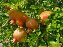 Pomegranates on tree Stock Photo