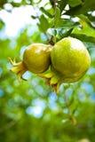 Pomegranates tree Royalty Free Stock Image