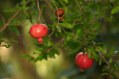 Pomegranates on the tree. Red pomegranates hanging on a branch, on a background of green leaves Stock Images