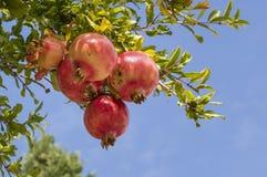 Pomegranates on the tree. Fruits of autumn: a group of pomegranates on 'tree Royalty Free Stock Image