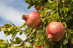 Pomegranates on the tree. Fruits of autumn: two pomegranates on tree Royalty Free Stock Photo