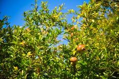 Pomegranates on the tree Royalty Free Stock Photography