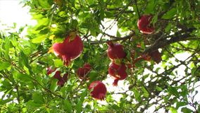Pomegranates on a tree stock footage