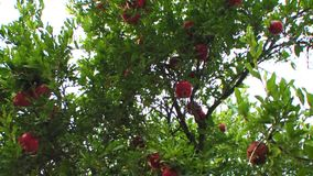 Pomegranates on a tree stock video footage