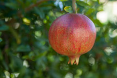 Pomegranates on the tree Stock Photography