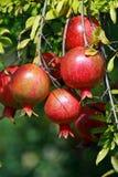 Pomegranite Royalty Free Stock Image