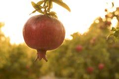 Pomegrant vermelho para o hashana do rosh que pendura no por do sol imagem de stock royalty free
