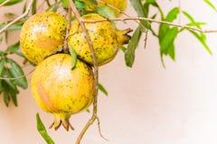 Pomegrante果子 库存照片