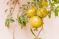 Pomegrante-Frucht Stockfoto
