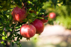 Pomegrenate. Pomegranate fruit growing on a tree Royalty Free Stock Photography