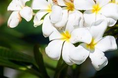 Pomelia kwiat Zdjęcie Royalty Free