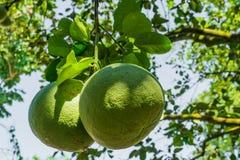 Pomelo φρούτα Στοκ Εικόνες