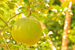 Pomelo. Tree and leaf background stock image