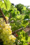 Pomelo amarillo delicioso en campos del viñedo Fotos de archivo libres de regalías