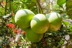 Pomelo (Citrus maxima) on tree. Vietnam. Royalty Free Stock Image