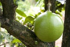 Pomelo del frutteto Immagine Stock Libera da Diritti
