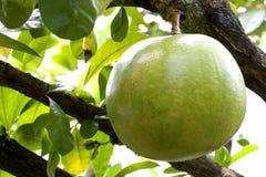Pomelo del frutteto Immagine Stock