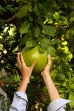 Pomelo e mãos Imagem de Stock