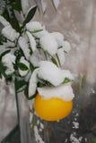Pomelo en nieve Imagenes de archivo