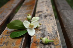 Pomelo  flower on the wooden chair. Pomelo flower in blossom  with  on the wooden chair Royalty Free Stock Photo