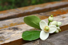 Pomelo  flower on the wooden chair. Pomelo flower in blossom  with  on the wooden chair Stock Images