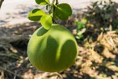 Pomelo fruit. Close up from garden Royalty Free Stock Photos