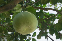 Pomelo fruit. Close up in the garden Royalty Free Stock Photo